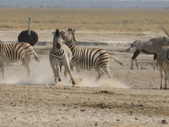 Zebres safari Afrique