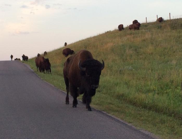 bisons CSP