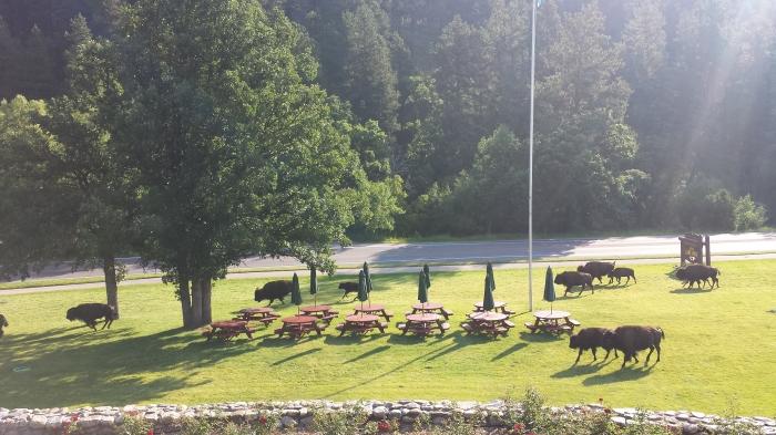 Les bisons devant notre hôtel !