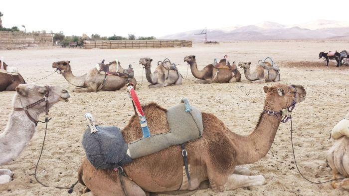 camel_ride_israel