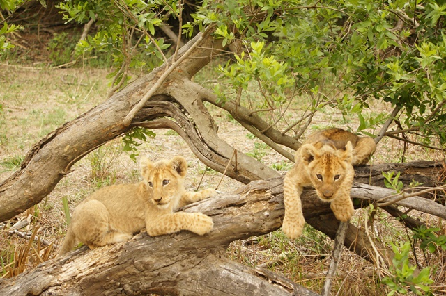 Le moment le plus craquant de tous nos safaris : voir ses bébés lionceaux !