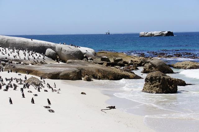 Une des choses que j'ai préféré de notre voyage : voir les pingouins à Bulders Beach à côté de Cape Town !