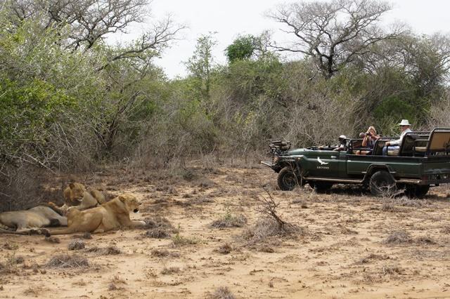 Premier safari avec And Beyond à Phinda et rencontre avec les premiers lions !