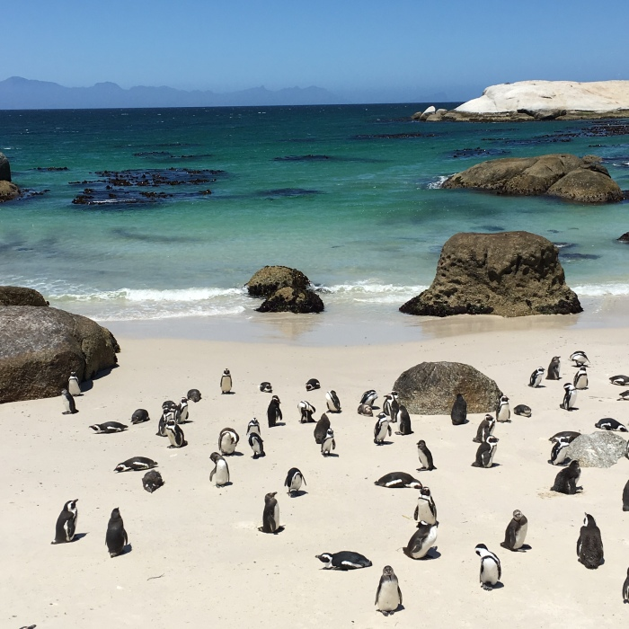 Bounders_beach_pingouins_cape_town_blog_voyage