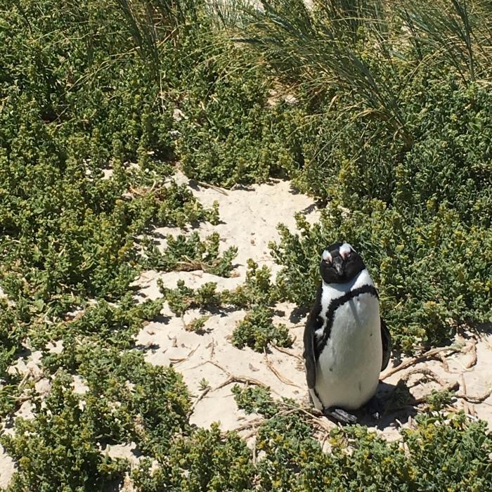 pingouins_boulders_beach_cape_town